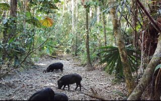 Daintree Camera Trap Report 1