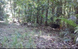 cassowaries, dingoes & feral-pigs